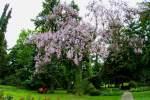 2021_05_19-BL-Paulovnia-plstnata