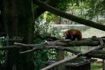 2019_07_10-Samec-pandy-červenej-003
